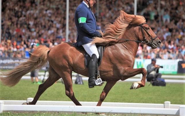 Man riding an Icelandic horse at a harness horse show in Germany