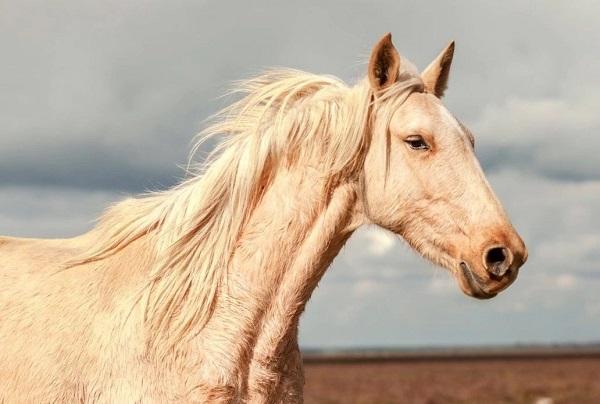 White Marismeno horse's head and neck area