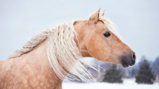 Best horse breeds for barrel racing. Palomino Quarter horse