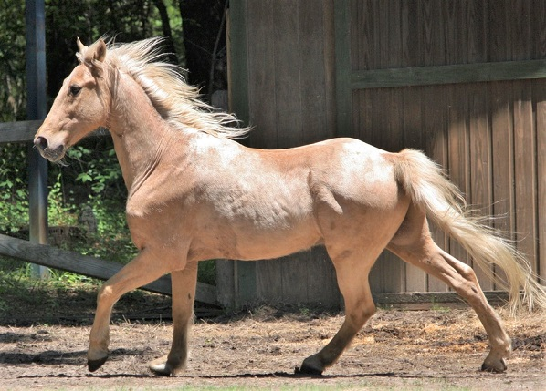 Palomino Tennessee Walking Horse cantering in a dry field