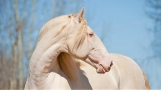 5 native Portuguese horse breeds. Facts, history, and overview