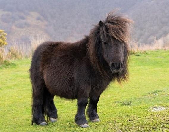 Pottok pony breed from Spain