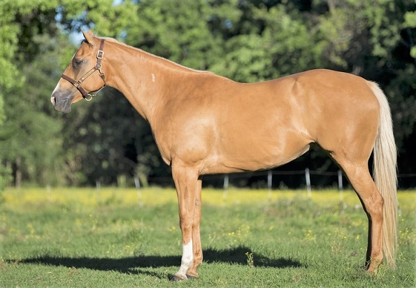 Palomino American Quarter horse breed used for barrel racing