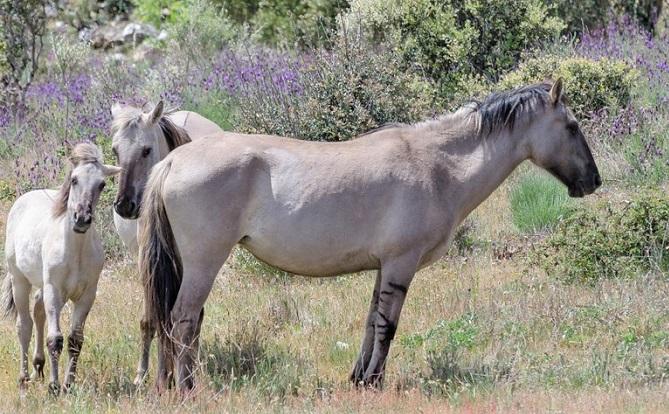 Sorraia horse breed family in the Portuguese wild