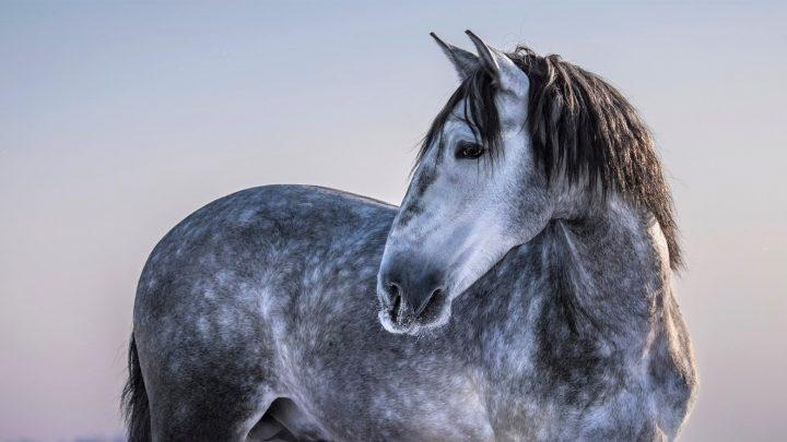 Native Spanish horse breeds