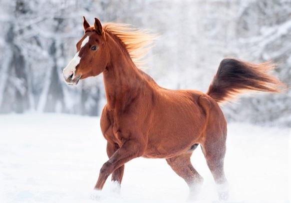 Chestnut Tersk horse running through snow