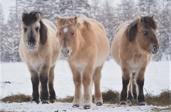 Three Yakutian horses standing in snow