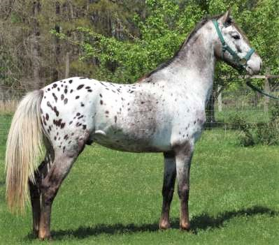 Walkaloosa horse breed with a spotted coat in a grassy field
