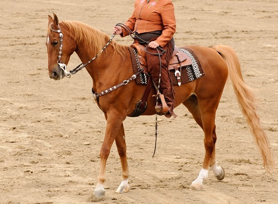 Woman in western clothing riding an American Saddlebred horse